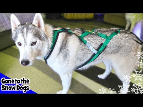 Best Harness For Dogs | Best Harness For Huskies And Working Dogs