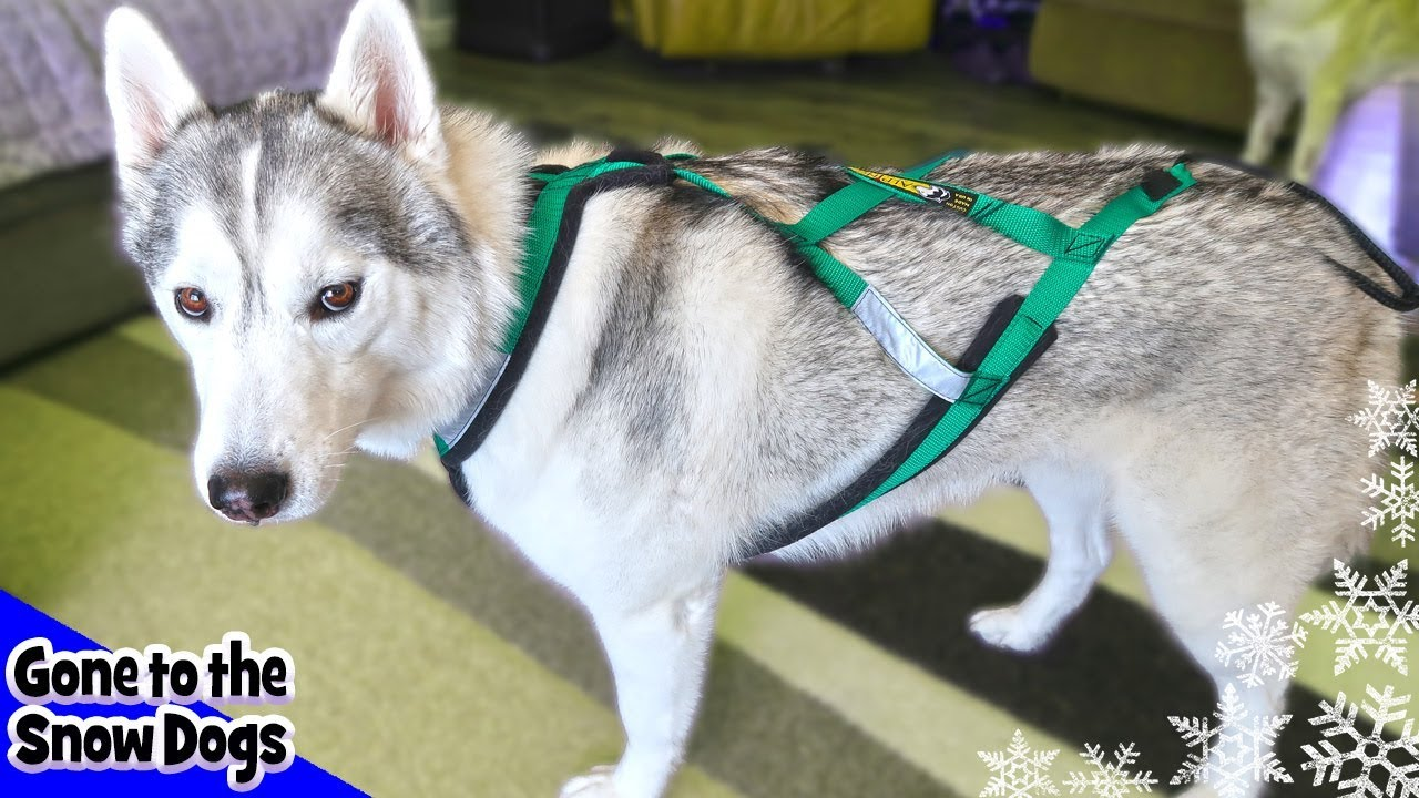 Best Harness For Dogs Best Harness For Huskies And Working Dogs