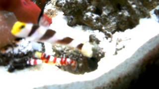 海水魚飼育ヒレナガネジリンボウとランドールピストルシュリンプの共生