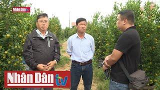 Nhà vườn trồng quất nổi tiếng Quảng Nam gặp khó về đầu ra