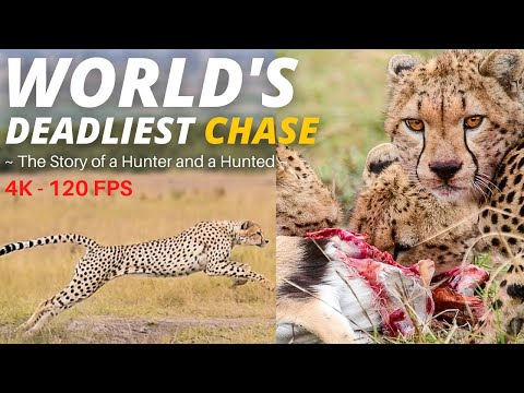Rare footage of Amboseli cheetahs chasing a gazelle in a 120 frames per second slow motion [4K]