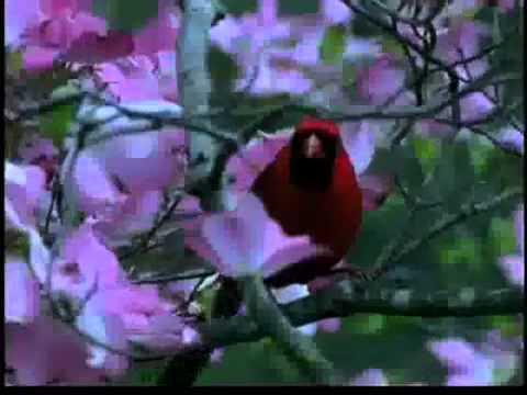 Bird Man Mel  Attracting Cardinals