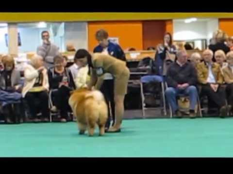 Crufts2013 Chow-chow, dogs