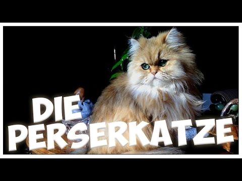 Die PERSERKATZE Im Rasseportrait #6 JulisTierwelt / PERSER / Persian Cat