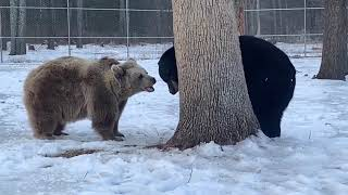What do Bears eat part 5 - Frankie and Sonya (read description)