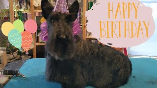 A Birthday Spa Day | Scottish Terrier Pet Groom