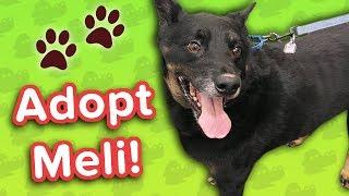 Adopt Meli! // Shepherd Mix // Adoptable Featurette