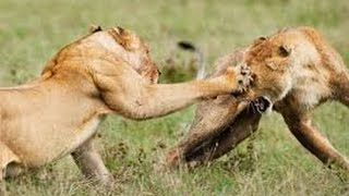 brutal and deadly fight 1 lion vs 4 lion fight to death