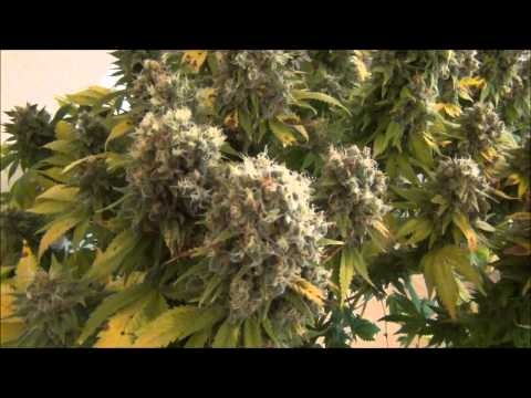 Serious 6  from Serious Seeds - B Plant Ready for Harvest 12312014