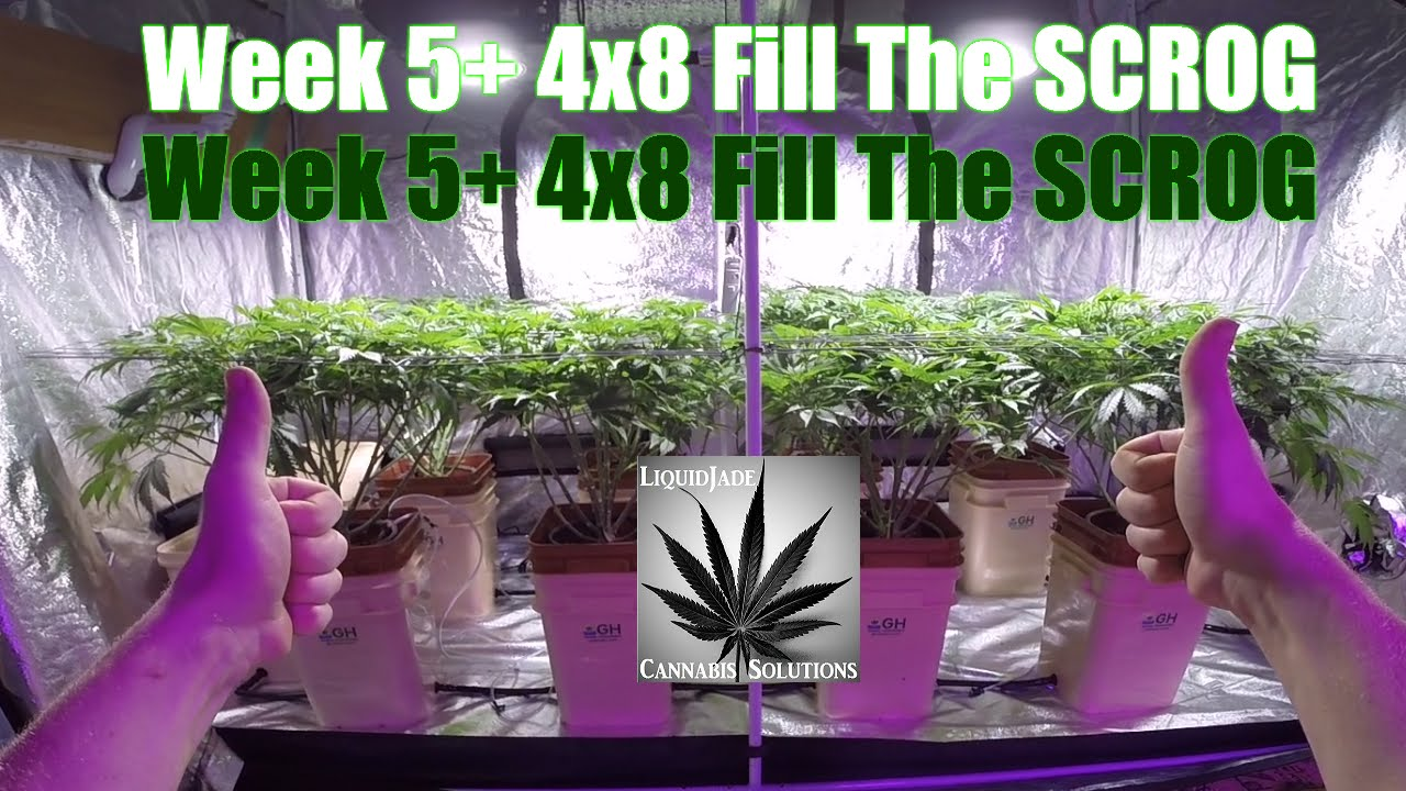 Lst Is The Important Technique Of Minor Trimming And Manipulation Of Plants That Makes The Screen Of Green Technique So Effective Scrog Filling Plants