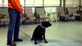 Macs K9- First Dog Training With Litter Mates- Amazing Dog Training In Illinois