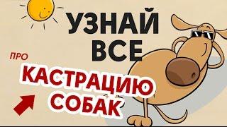 Кастрация собак(Записаться к хирургу-онкологу: http://vetvipspb.ru/?utm_source=youtube&utm_medium=video&utm_campaign=kastraciya_sobak&utm_content=opisanie ..., 2016-09-15T20:11:16.000Z)