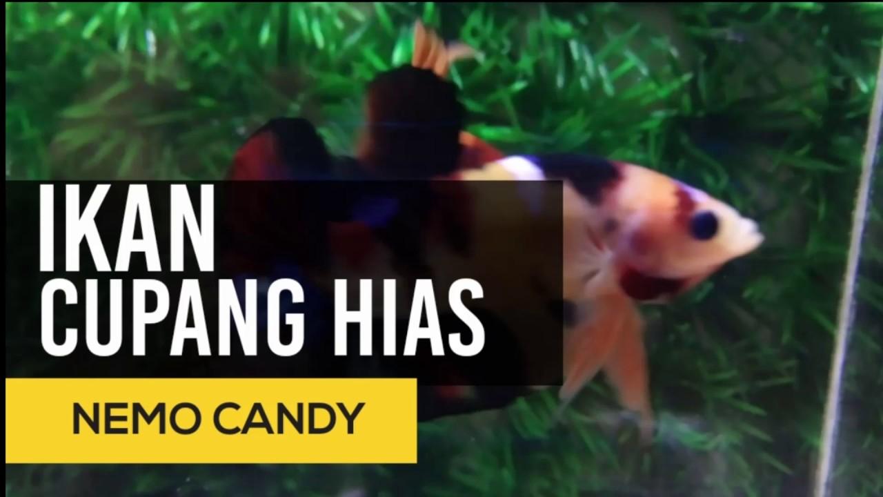 Ikan Cupang Hias Nemo Candy Size M Youtube