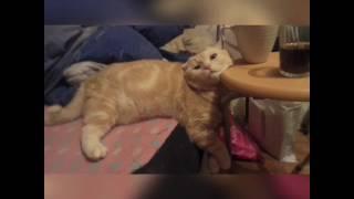 Засыпай любовь моя... Кот крутой смех стул диван морда шотландский вислоухий персик