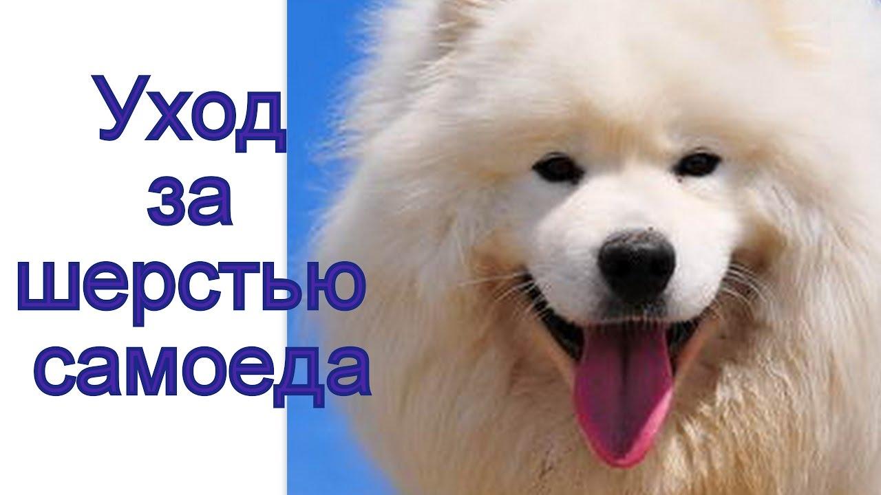 Собаки породы Самоедская лайка! - YouTube