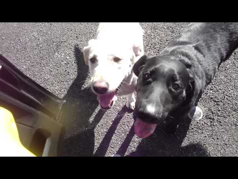 Walking The Dogs: Vlogger Style Starbucks & Puppies