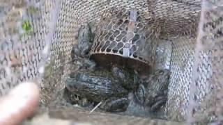 Ếch khủng dính bẫy chuột ( Big frog with automatic mousetrap)