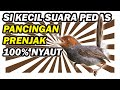 Masteran Prenjak Kepala Merah Jantan Betina Gacor Pancingan Prenjak  Mp3 - Mp4 Download