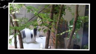 """""""Chin is a Japanese dog"""" Chin is a Japanese dog. It was originally ..."""