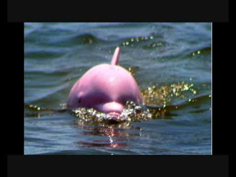 Rare Pink Dolphin Discovered