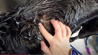 Grooming A 176 Pound GREAT DANE | MAJOR SKIN CONDITION | Didn't Want To Get In The Tub [CC]
