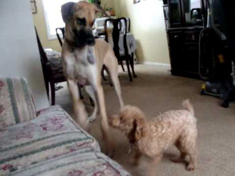 Funny Dogs - Great Dane & Mini Poodle play tug of war