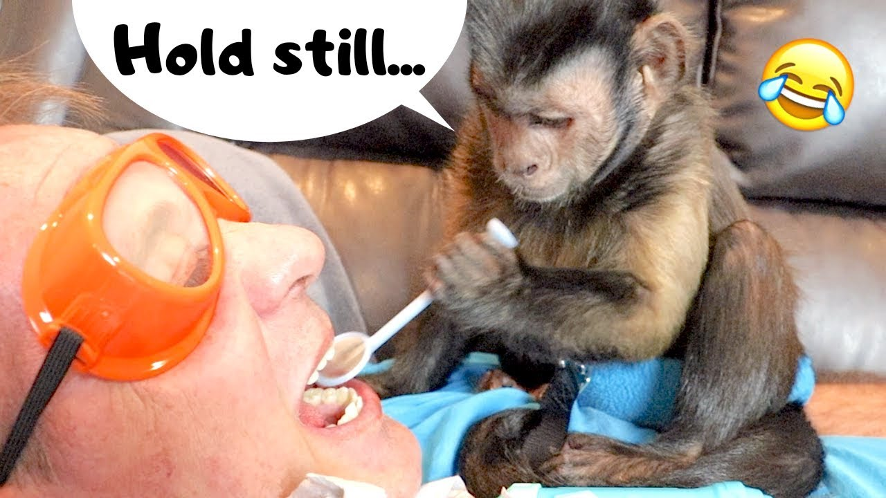 Capuchin Monkey Dentist! (DOCTOR MONKEYBOO)
