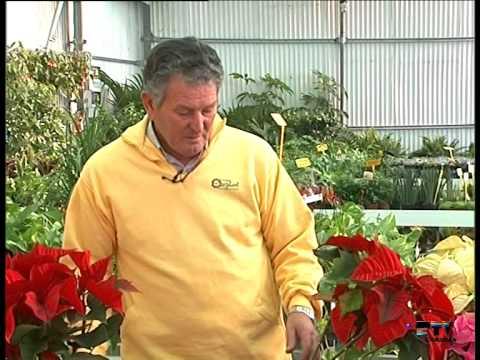 El Jardinero En Casa La Flor De Pascua Youtube