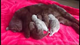 Милые британские котята шоколадного и лилового окраса. Питомник