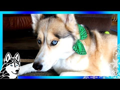 HUSKIES ARE PICKY EATERS ? | #AskGTTSD 285 | Siberian Husky