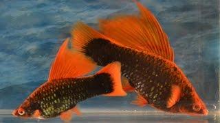 Аквариумная рыбка Меченосец! Уход и содержание! #Меченосец