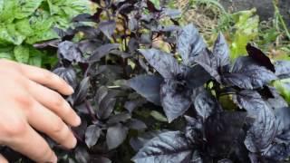 видео Применение базилика в кулинарии