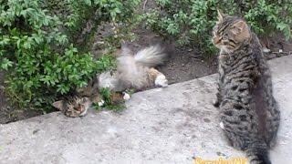Cats and boxwood / Коты и самшит