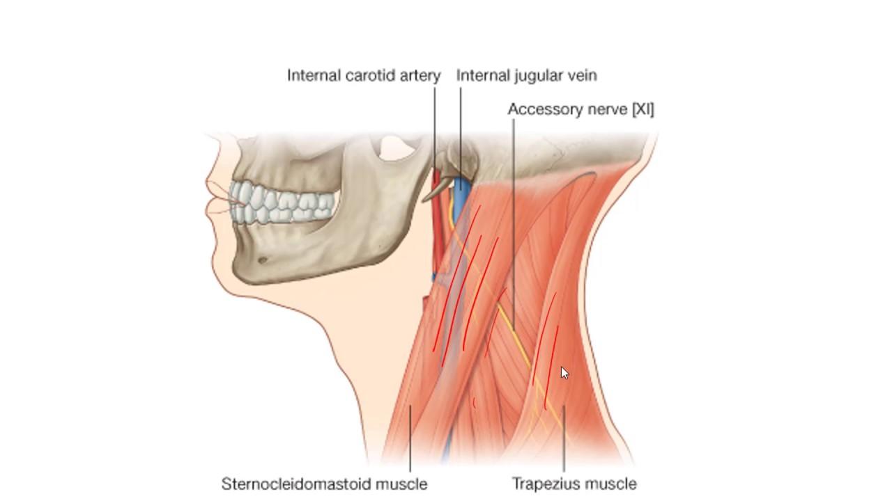 Anatomy 2 U1 L17 Nerves Of The Neck Youtube