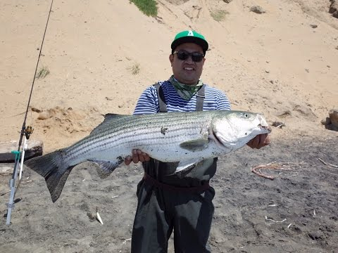 Surf Striped Bass Fishing In San Francisco - 20LB STRIPED BASS - SP MINNOW