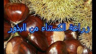زراعة الكستناء او ابو فروة من البذور (1)