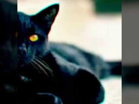 8 Raças de gato comuns no Brasil