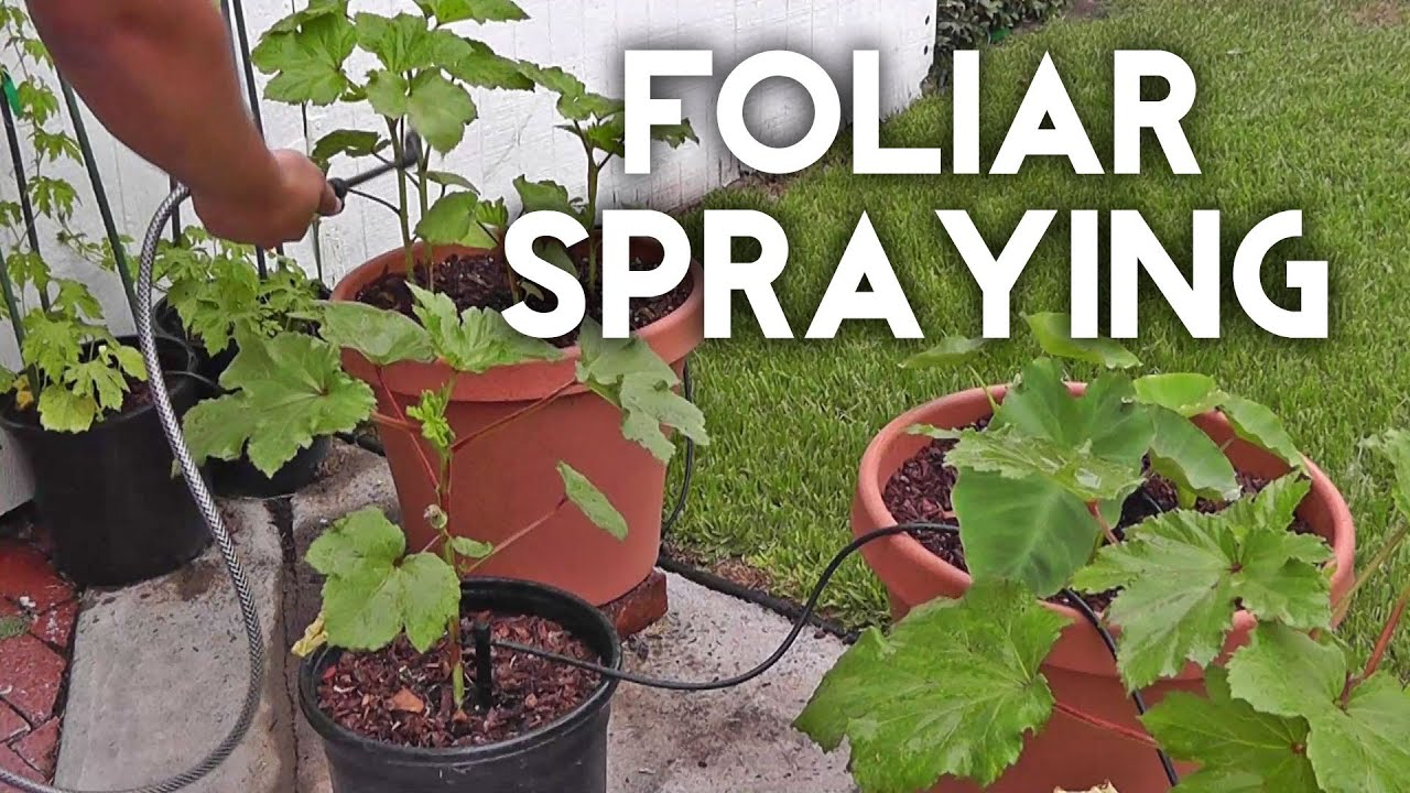 Foliar spraying with seaweed and/or fish emulsion to fertilize plants