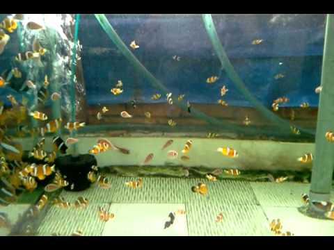 Clown fish small size xanh tuoi aquarium vn youtube for Clown fish size