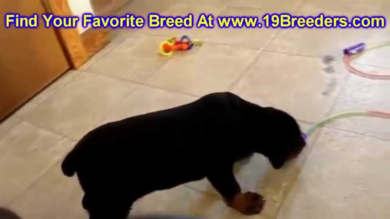 Backpage Charleston Wv >> Doberman Pinscher, Puppies, Dogs, For Sale, In Charleston, West Virginia, WV, 19Breeders - YouTube