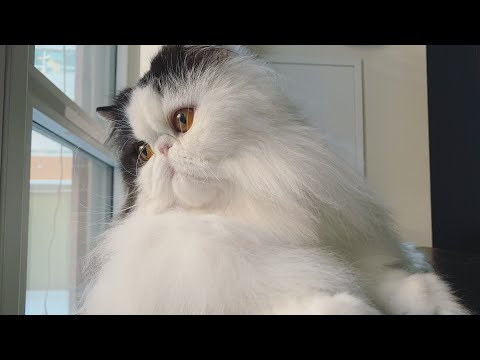 Grooming my Persian cat