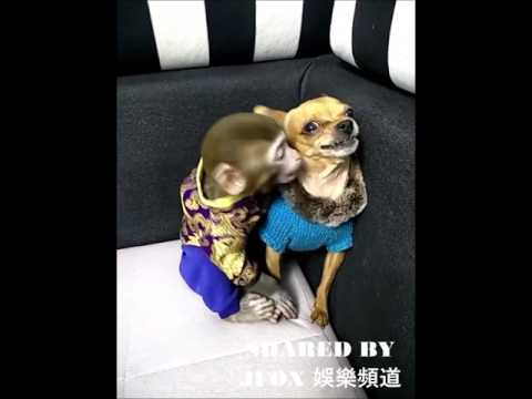Monkey Kiss Dog Funny Video