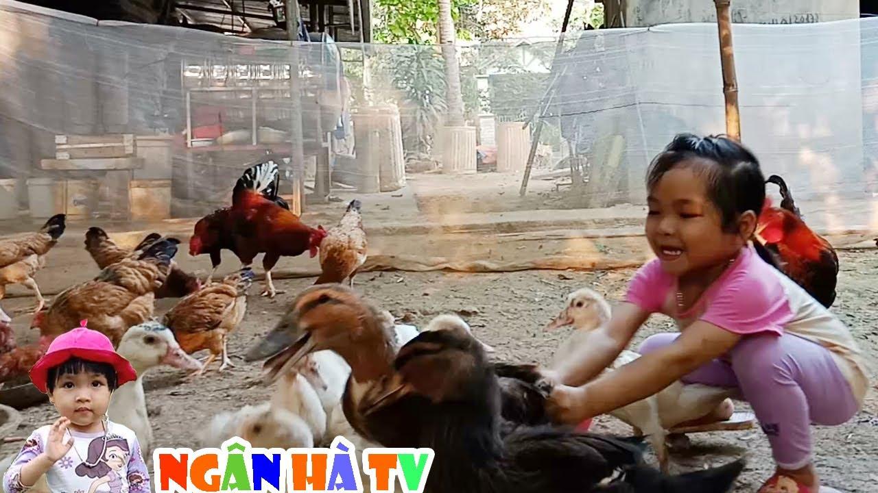 Đi chăn gà ngân hà cho vịt uống nước cho gà ăn chơi bắt vịt bắt gà trống❤Ngân hà TV❤