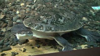 コウヒロナガクビガメの表情in円山動物園 Broad-shelled turtle