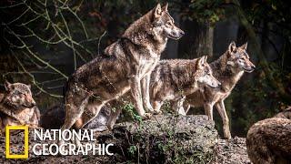 Самые опасные животные - Стайные охотники | (National Geographic)
