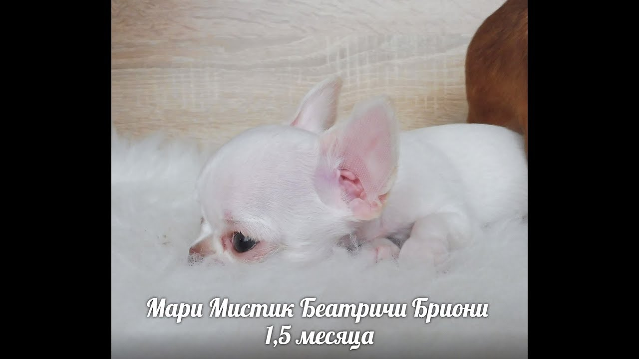 Продаем щенков: йорков, пинчеров, французских бульдогов. Очаровательные щенки, отличной родословной, недорого. Полная информация по.