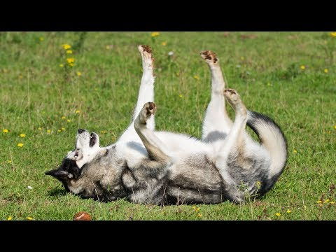 Funny Husky/Malamute Rolling at Speed