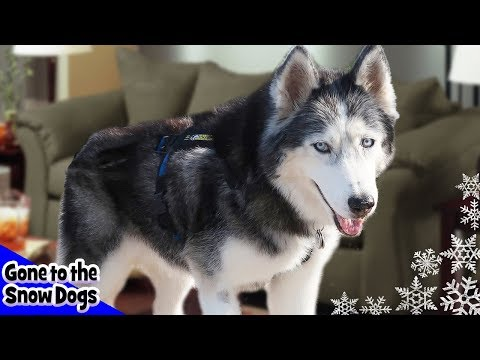 husky-zoomies-on-the-couch-|-dog-caught-on-camera-alone