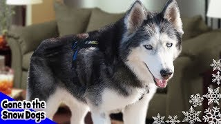 Video Husky Zoomies on the Couch | Dog Caught on Camera Alone download MP3, 3GP, MP4, WEBM, AVI, FLV Januari 2018