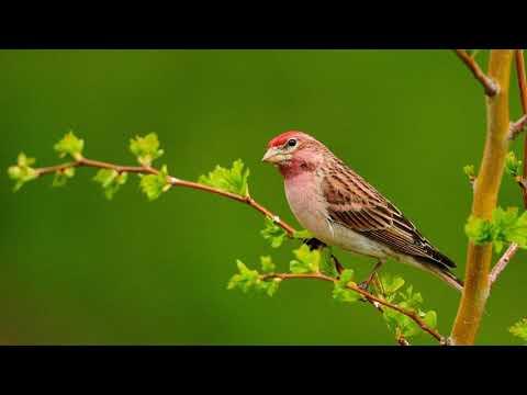 Birds Ringtone Alarm Sound Free Download